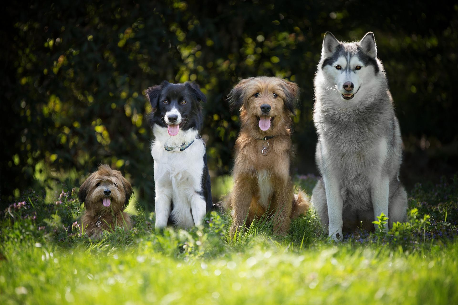 cão saudavel sentado, quatro